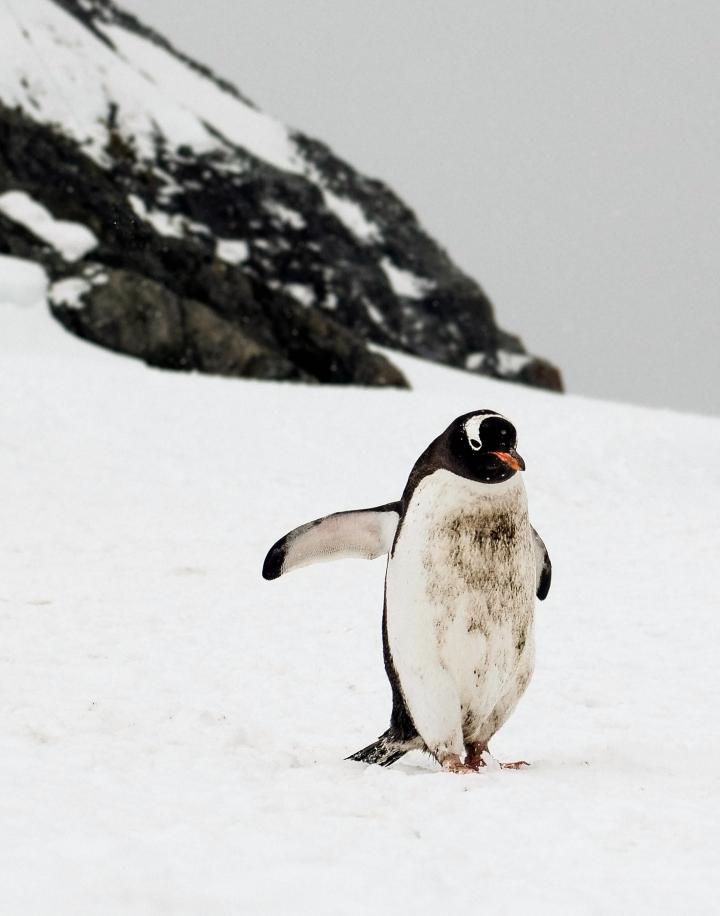 Emily Lee Gentoo Penguin.jpg